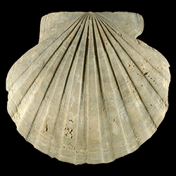 Chesapecten