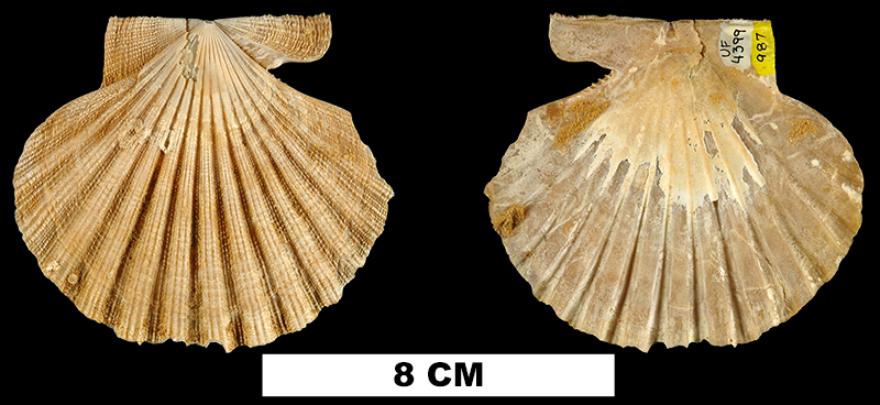 <i>Chesapecten madisonius</i> from the Miocene Choptank Formation of Calvert County, Maryland (UF 4399).