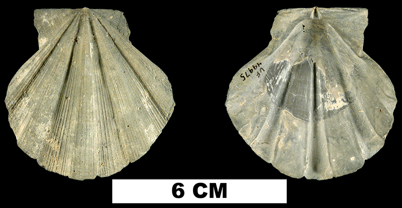 <i>Chesapecten septenarius</i> from the Late Pliocene Tamiami Fm. (Lower) of Sarasota County, Florida (UF 49975).