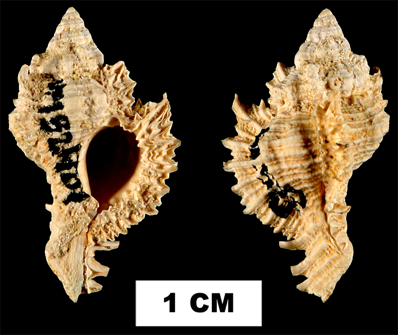 <i>Chicoreus dujardinoides</i> from the Early Miocene Chipola Fm. of Calhoun County, Florida (UF 132401).