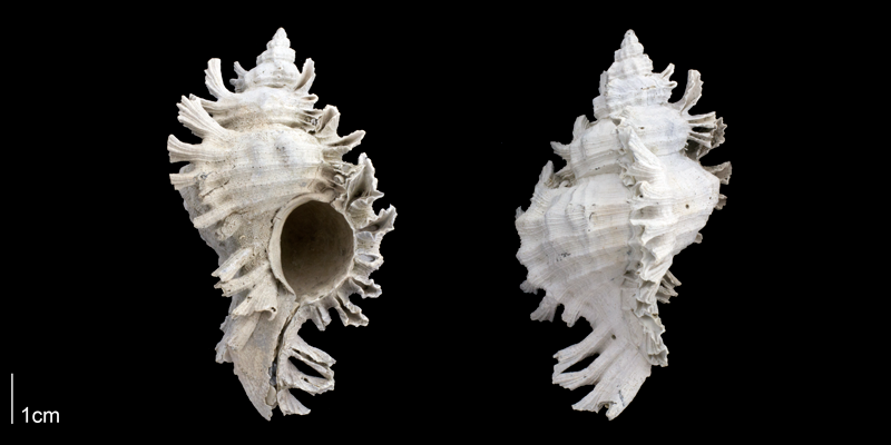 <i>Chicoreus floridanus</i> from the Late Pliocene Tamiami Fm. (Pinecrest Beds) of Sarasota County, Florida (PRI 70118).