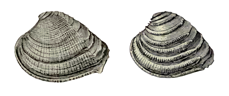 Specimen of <i>Chione burnsii</i> figured by Dall (1900, pl. 42, fig. 4 and 11); left specimen 34.0 mm in length.