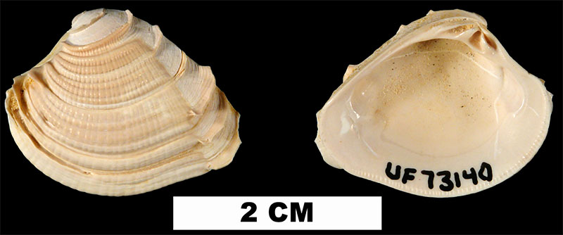 <i>Chione burnsii</i> from the Early Miocene Chipola Fm. of Calhoun County, Florida (UF 73140).