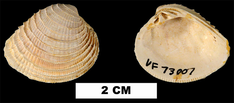 <i>Chione chipolana</i> from the Early Miocene Chipola Fm. of Calhoun County, Florida (UF 73007).
