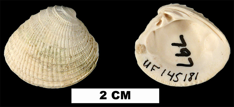 <i>Chione erosa</i> from the Late Pliocene Tamiami Fm. (Pinecrest Beds) of Collier County, Florida (UF 145181).