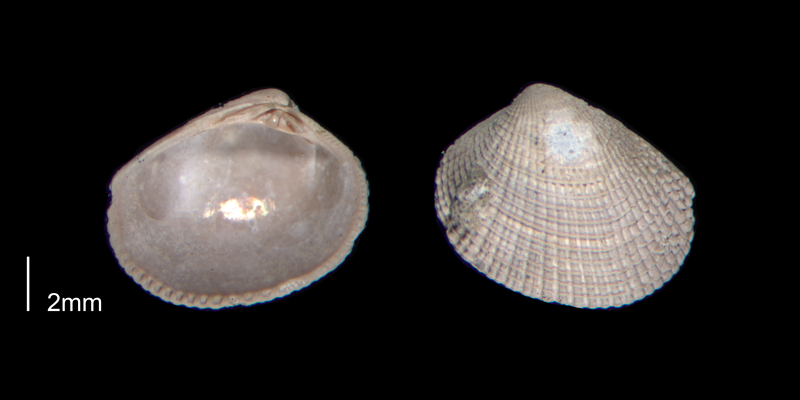 <i>Chioneryx grus</i> from the Early Pleistocene James City Fm. of Beaufort County, North Carolina (PRI 70517).