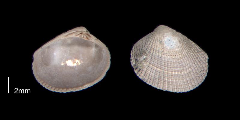 <i>Chioneryx grus</i> from the Early Pleistocene James City Fm. of Beaufort County, North Carolina (PRI 70517).
