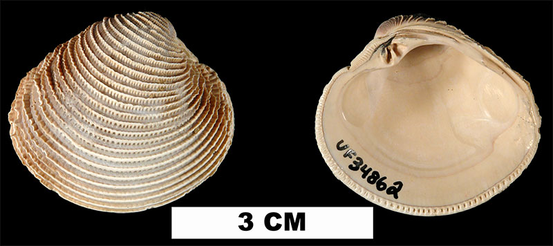 <i>Chionopsis cribraria</i> from the Plio-Pleistocene (formation unknown) of Sarasota County, Florida (UF 34862).