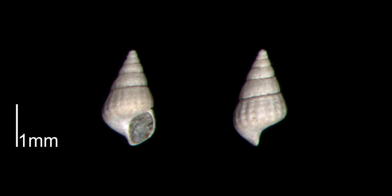 <i>Chrysallida beaufortensis</i> from the Early Pleistocene James City Fm. of Beaufort County, North Carolina (PRI 70474).