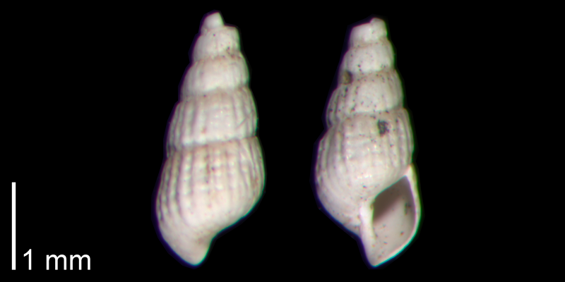 <i>Chrysallida beaufortensis</i> from the Early Pleistocene James City Fm. of Beaufort County, North Carolina (PRI 70499)