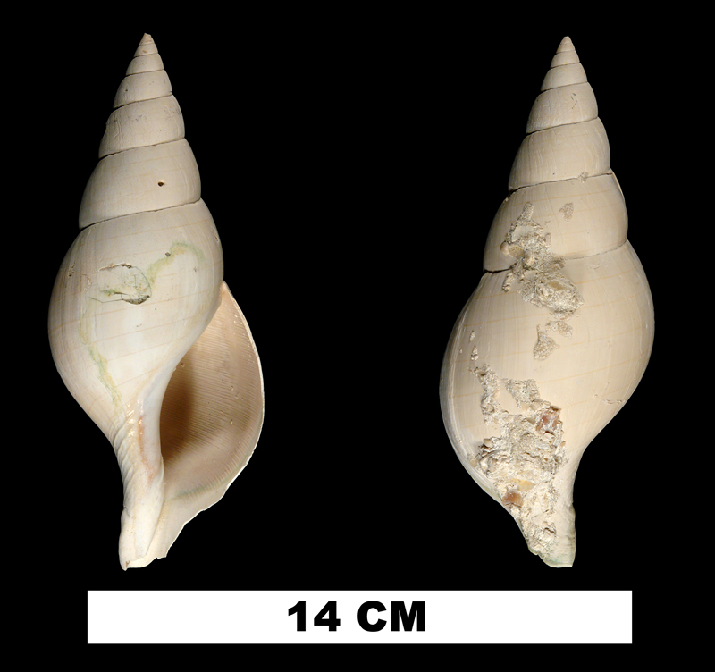 <i>Cinctura rhomboidea</i> from the Late Pliocene Tamiami Fm. (Pinecrest Beds) of Collier County, Florida (UF 146391).