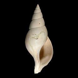 Cinctura rhomboidea