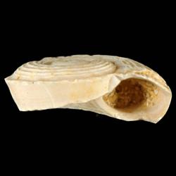 Circulus anthera