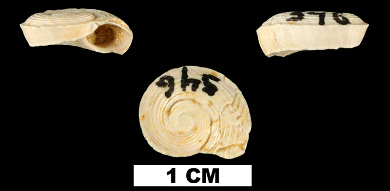 <i>Circulus anthera</i> from the Early Miocene Chipola Fm. of Calhoun County, Florida (UF 93695).