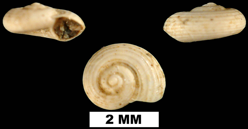 <i>Circulus costulatus</i> from the Late Pliocene Duplin Fm. of Duplin County, North Carolina (UF 82158).
