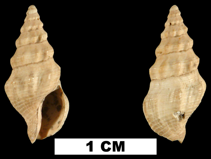 <i>Clathrodrillia anteaphanitoma</i> from the Late Pliocene Jackson Bluff Fm. of Leon County, Florida (UF 79806).