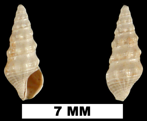 <i>Clathrodrillia emmonsi</i> from the Late Pliocene Jackson Bluff Fm. of Leon County, Florida (UF 79045).
