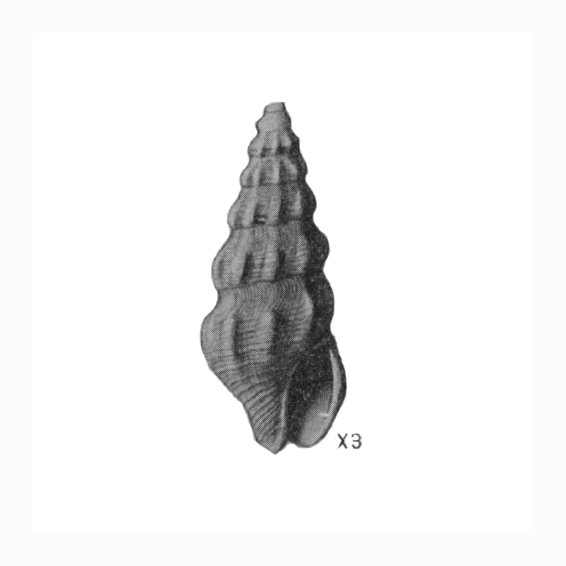 Specimen of <i>Clathrodrillia gracilina</i> figured by Mansfield (1930, pl. 2, fig. 8); 13.5 mm in length.
