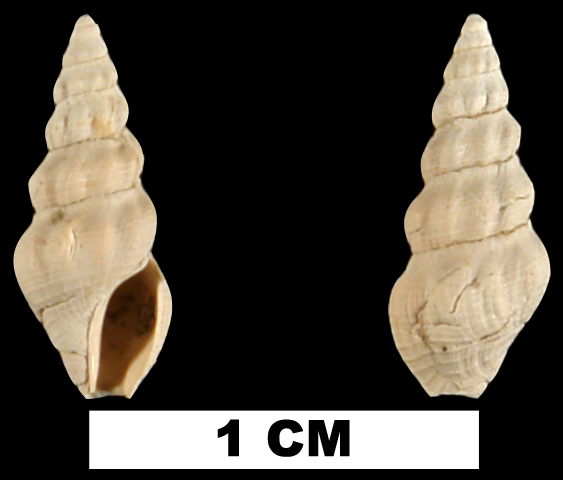 <i>Clathrodrillia gracilina</i> from the Late Pliocene Jackson Bluff Fm. of Leon County, Florida (UF 78704).