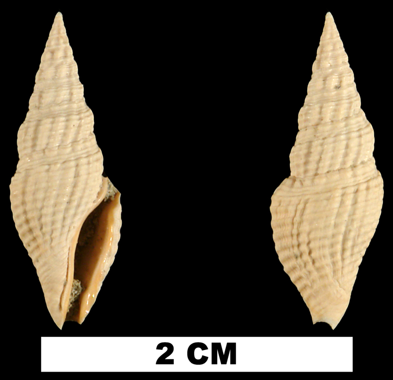 <i>Clavatula apoia</i> from the Early Miocene Chipola Fm. of Calhoun County, Florida (UF 101844).