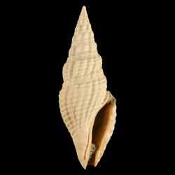 Clavatula