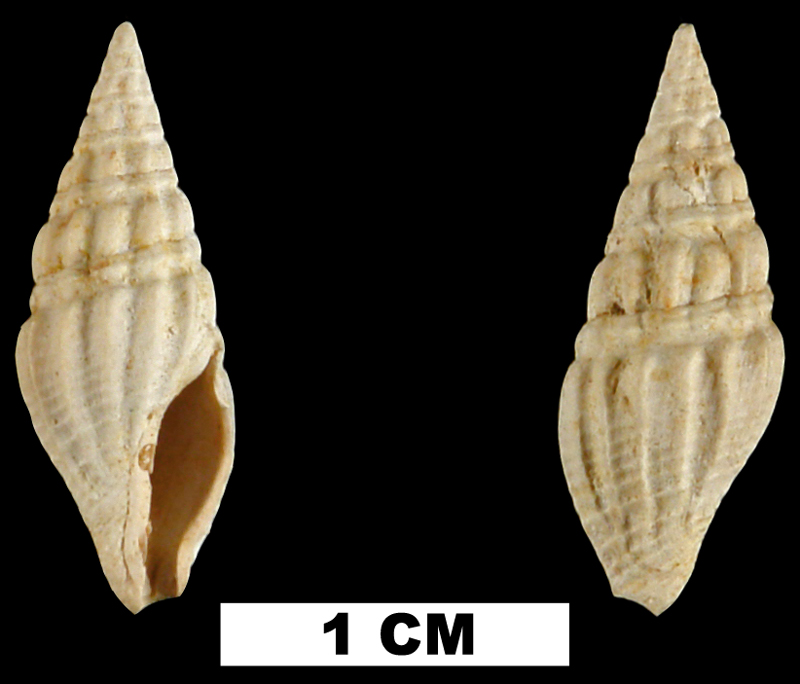 <i>Clavatula habra</i> from the Early Miocene Chipola Fm. of Calhoun County, Florida (UF 67702).