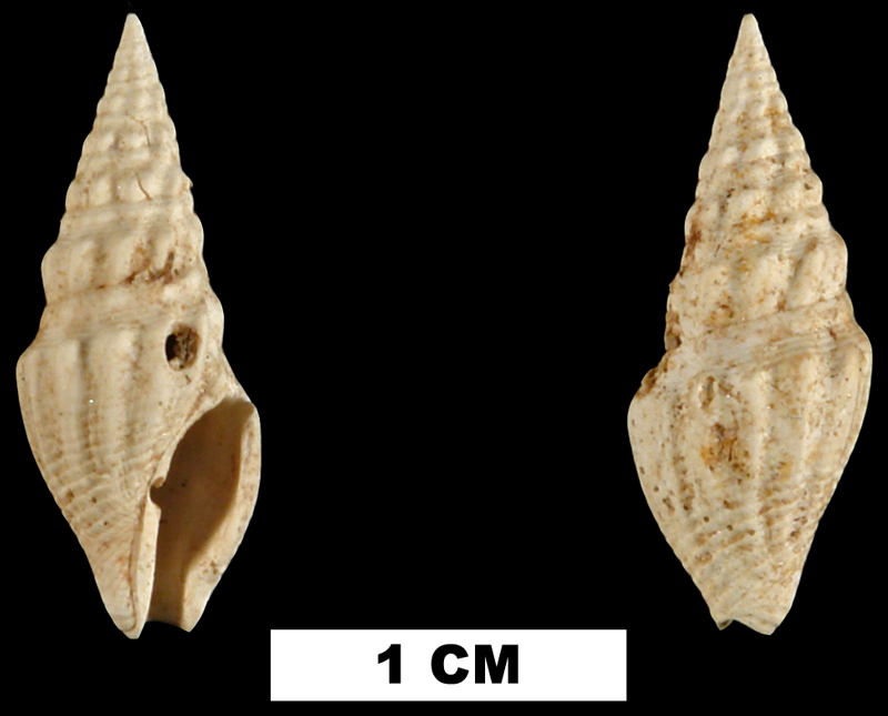 <i>Clavatula kalliglypta</i> from the Early Miocene Chipola Fm. of Calhoun County, Florida (UF 67261).