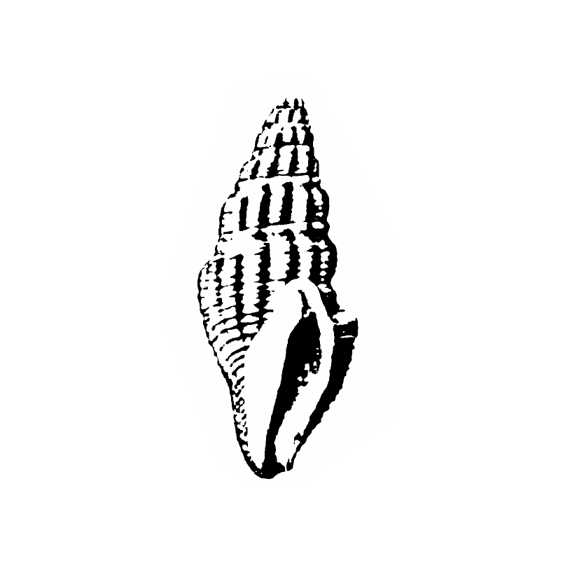 Specimen of <i>Clavatula panopla</i> figured by Gardner (1938, pl. 39, fig. 16); 23.5 mm in length.