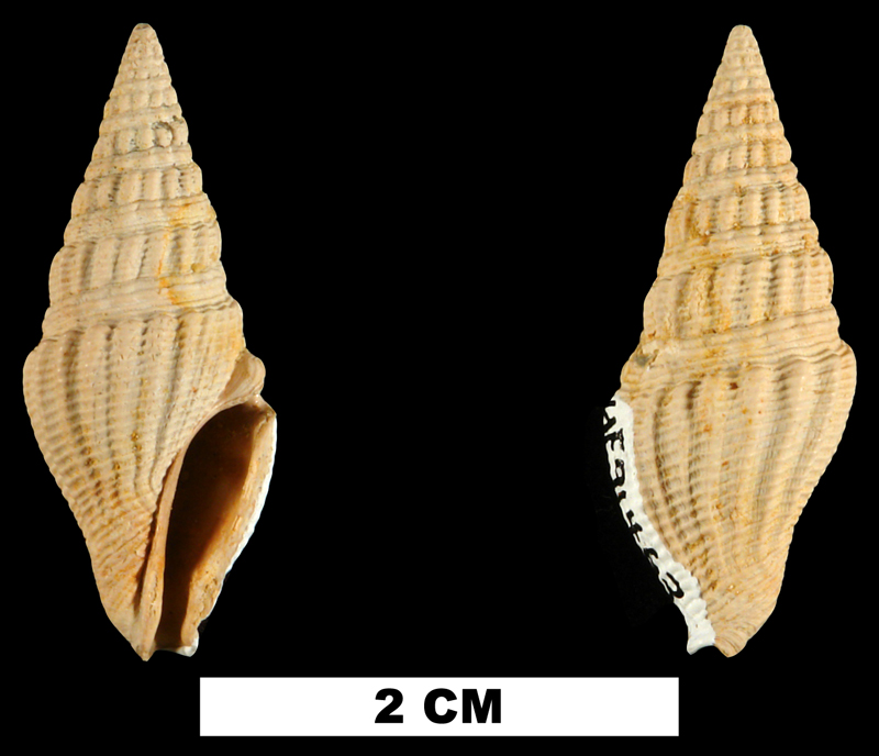 <i>Clavatula panopla</i> from the Early Miocene Chipola Fm. of Calhoun County, Florida (UF 91463).