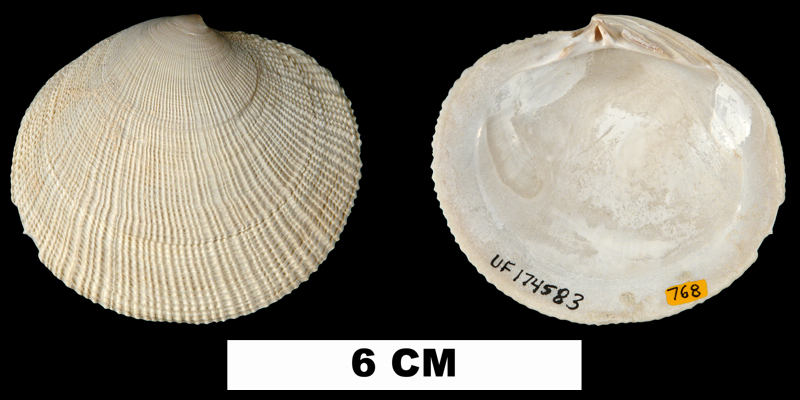 <i>Codakia orbicularis</i> from the Middle Pleistocene Bermont Fm. of Palm Beach County, Florida (UF 174583).