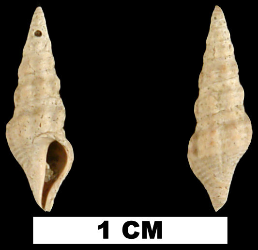 <i>Compsodrillia drewi</i> from the Late Pliocene Duplin Fm. of Duplin County, North Carolina (UF 82874).
