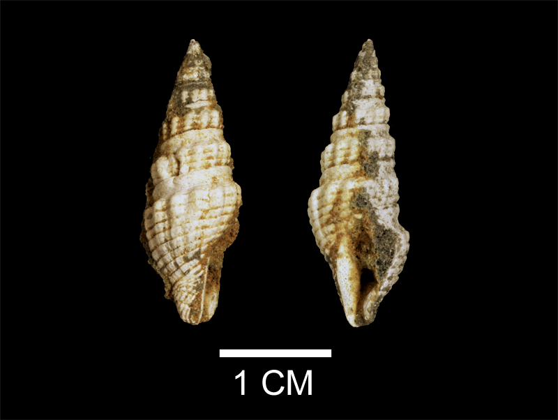 <i>Compsodrillia eburnea</i> from the Late Pliocene Yorktown Fm. of Isle of Wight County, Virginia (SDSM 112580).