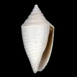 Conasprella onisca