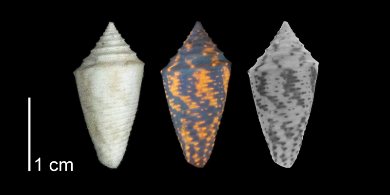 <i>Conasprella stearnsii</i> from the Plio-Pleistocene (formation unknown) of Highlands County, Florida (PRI 70614). Specimen shown under regular (left) and ultraviolet (middle) light, which reveals its original coloration pattern. The image on the right shows what the pattern would have looked like when the animal was alive.
