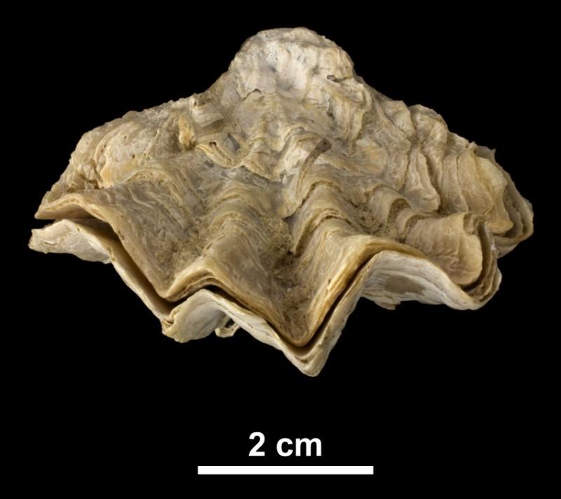 <i>Ostrea sculpturata</i> from the Plio-Pleistocene (formation unknown) of DeSoto County, Florida (PRI 40847), highlighting crenulated margin.