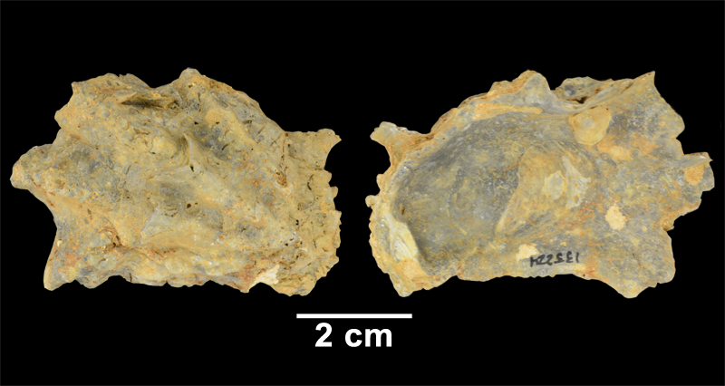 <i>Conradostrea sculpturata</i> from the Late Pliocene Yorktown Fm. of Isle of Wight County, Virginia (SDSM 135224).