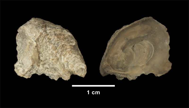 <i>Conradostrea sculpturata</i> from the Late Pliocene Yorktown Fm. of Isle of Wight County, Virginia (SDSM 139690).