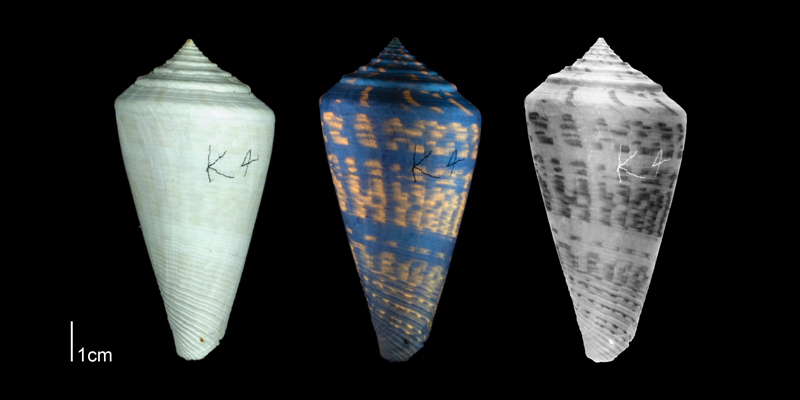 <i>Conus adversarius</i> from the Plio-Pleistocene of Highlands County, Florida, showing coloration pattern revealed by ultraviolet light (PRI 53495).