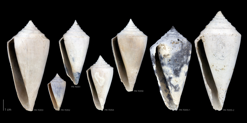 Specimens of <i>Conus adversarius</i> from the Late Pliocene Tamiami Fm. (Pinecrest Beds) of Sarasota County, Florida (PRI 70350-70355).