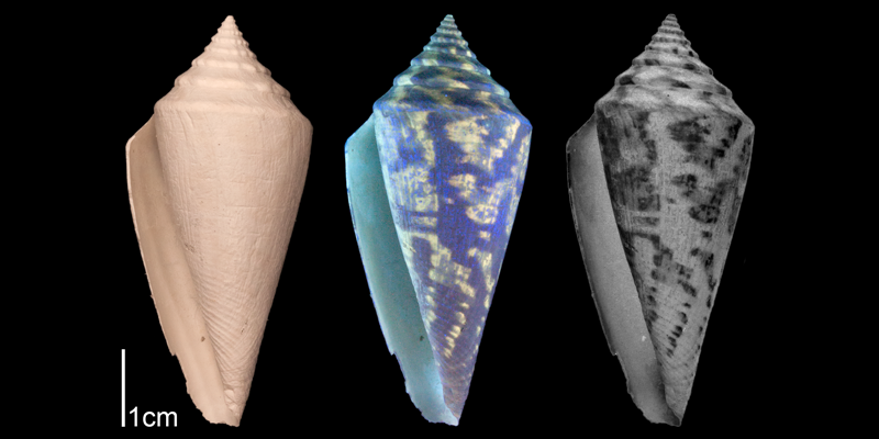 <i>Conus adversarius</i> from the Late Pliocene Tamiami Fm. (Pinecrest Beds) of Sarasota County, Florida (SJSU Collection). Image on left photographed under regular light; middle image photographed under ultraviolet light, revealing preserved coloration patterns (bright fluorescing regions); right image is inverse version of middle image, revealing what shell coloration pattern would have looked like in life.