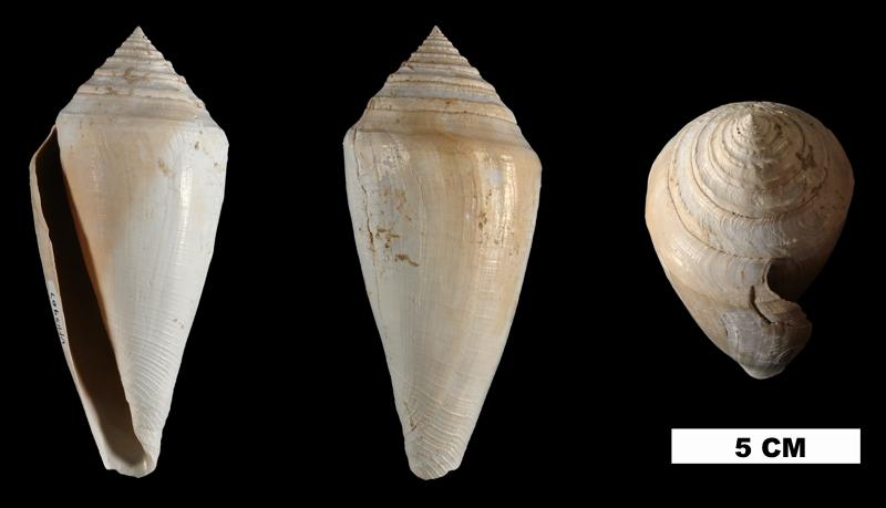 <i>Conus adversarius</i> from the Early Pleistocene Calooshatchee Fm. of Okeechobee County, Florida (UF 115967).
