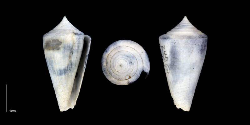 <i>Conus bassi</i> from the Late Pliocene Tamiami Fm. of Sarasota County, Florida (PRI 70349).