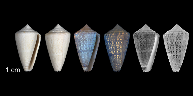 Paratype of <i>Conus burnetti</i> from the upper Pliocene Tamiami Fm. (Pinecrest Beds) of Collier County, Florida (PRI 54720).