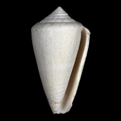 Conus burnetti