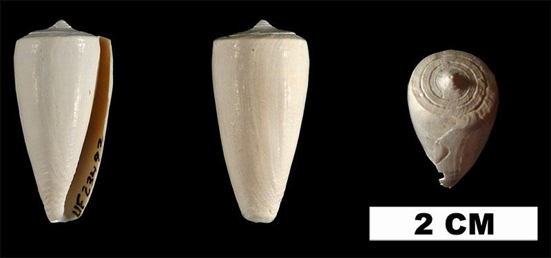 <i>Conus daucus</i> from the Early Pleistocene Caloosahatchee Fm. of Hendry County, Florida (UF 23492).