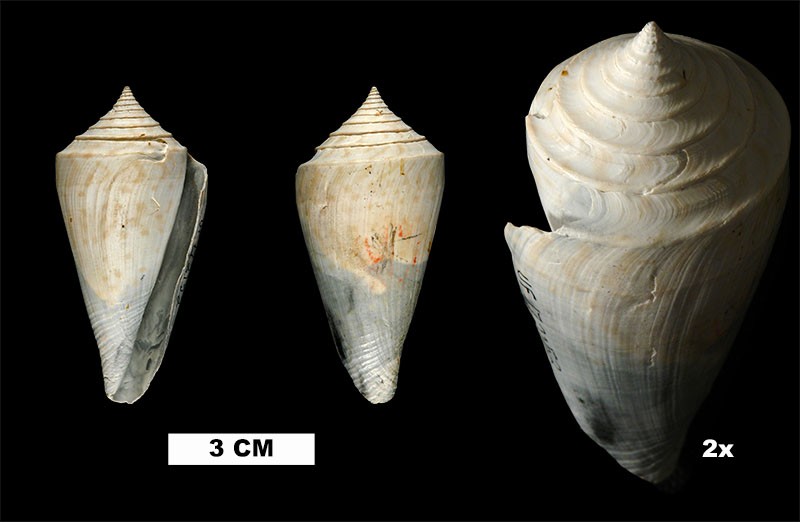 <i>Conaprella delessertii</i> from the Late Pliocene Tamiami Fm. (Pinecrest Beds) of Okeechobee County, Florida (UF 172152).