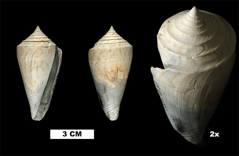 <i>Conaprella delessertii</i> from the Late Pliocene Tamiami Fm. (Pinecrest Beds) of Okeechobee County, Florida (UF 172152).