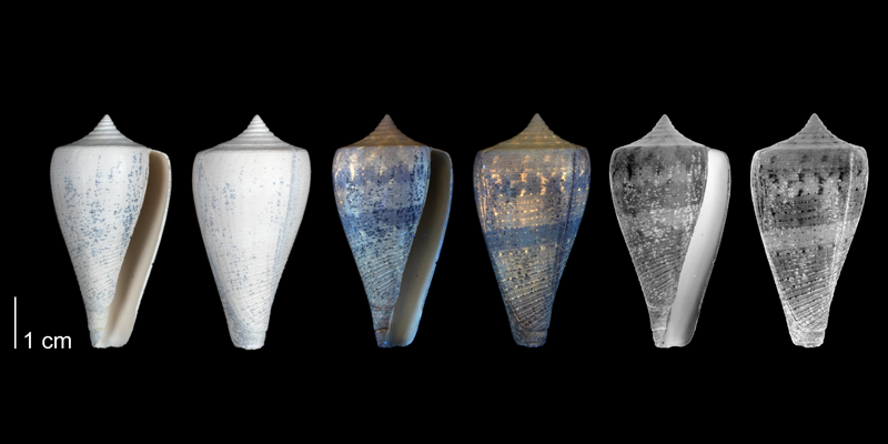<i>Conus haytensis</i> from the upper Pliocene Tamiami Fm. (Pinecrest Beds) of Hendry County, Florida, showing the original coloration pattern of the shell revealed by ultraviolet light (PRI 54697).