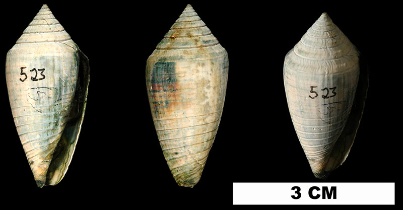 <i>Conasprella onisca</i> from the Late Pliocene Tamiami Fm. (Pinecrest Beds) of Glades County, Florida (UF 174363).