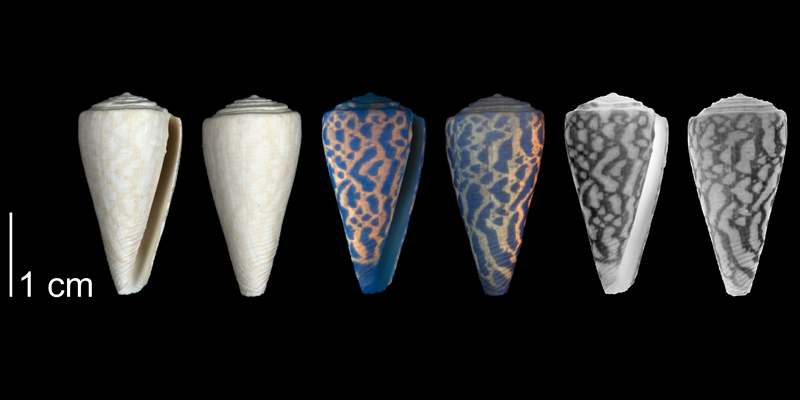 <i>Conus paranobilis</i> from the Tamiami Fm. (Pinecrest Beds) of Collier County, Florida, shown under regular and ultraviolet light, which causes the original coloration pattern of the shell to be revealed (PRI 54626).